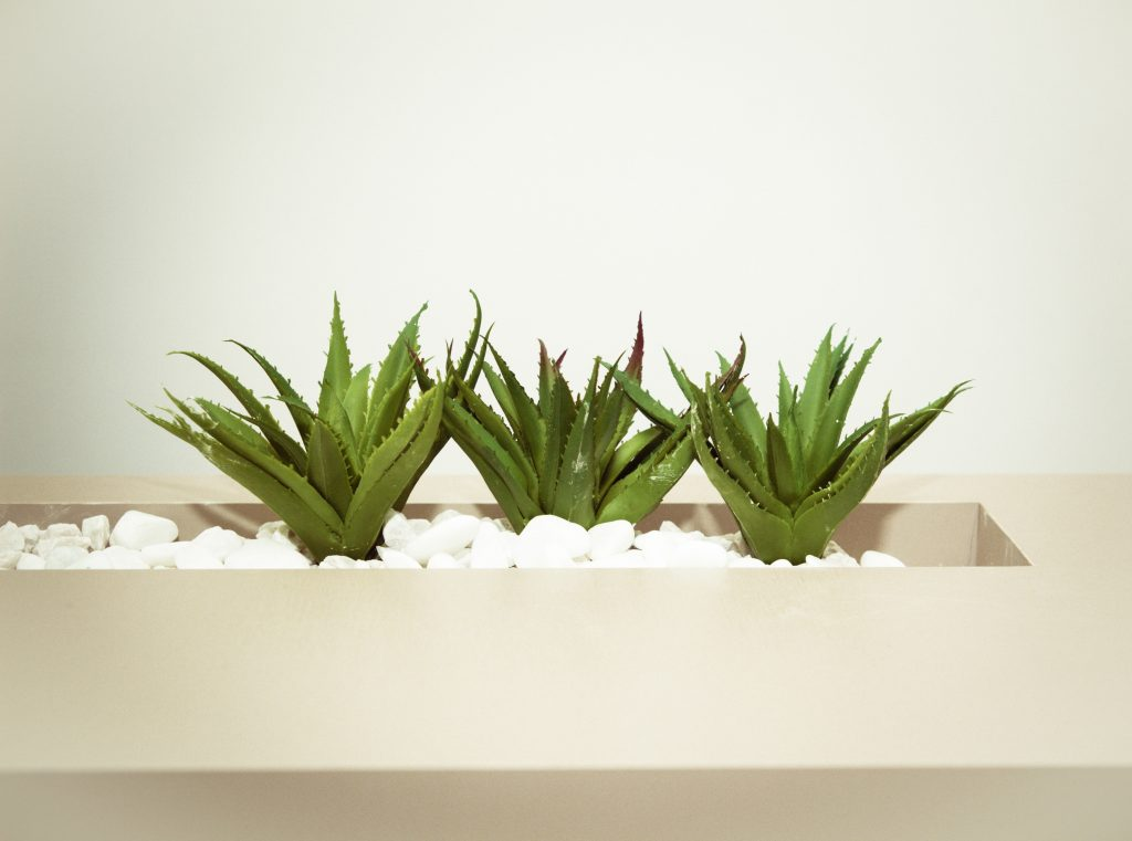three aloe vera plants
