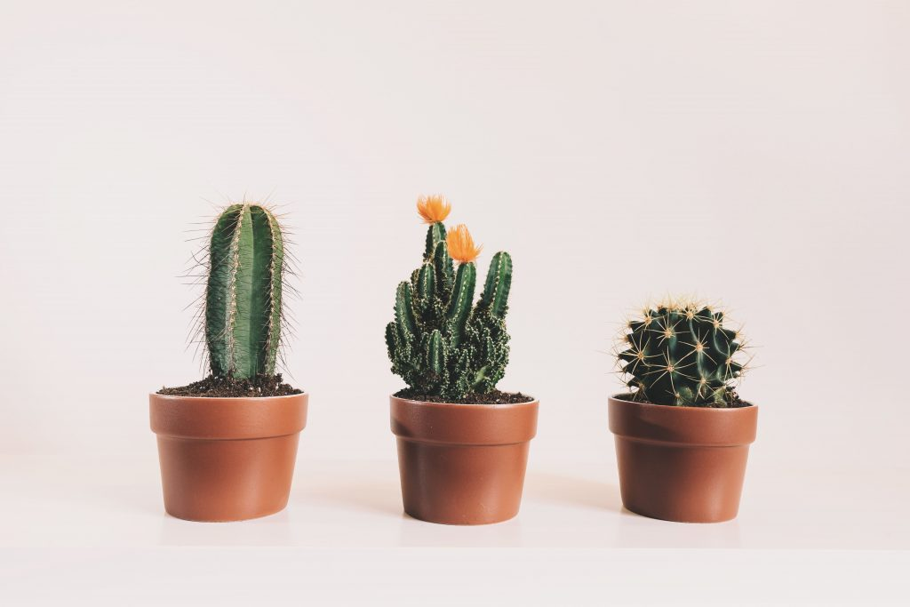three cacti against a white background